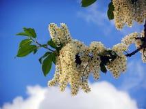 Fiori lilla dell'albero della bella molla fotografia stock libera da diritti