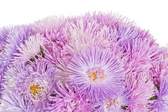 Fiori lilla dell'aster in fioritura Fotografia Stock Libera da Diritti