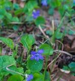 Fiori lilla della viola della foresta tricolore dopo pioggia immagini stock