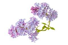 Fiori lilla di fioritura isolati su fondo bianco immagini stock