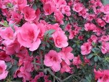 Fiori lilla, fiori porpora Albero sbocciante in primavera Rosa fiorisce, fiori rosa, azalee rosa Fotografie Stock Libere da Diritti