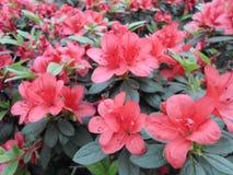 Fiori lilla, fiori porpora Albero sbocciante in primavera Rosa fiorisce, fiori rosa, azalee rosa Immagine Stock Libera da Diritti