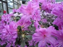 Fiori lilla, fiori porpora Albero sbocciante in primavera Rosa fiorisce, fiori rosa, azalee rosa Fotografia Stock Libera da Diritti