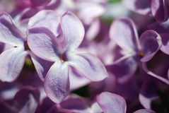 Fiori lilla messi a fuoco morbidezza Priorità bassa floreale della sorgente Immagini Stock
