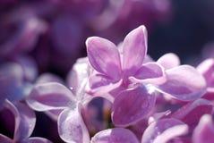 Fiori lilla messi a fuoco morbidezza Priorità bassa floreale della sorgente Fotografia Stock Libera da Diritti