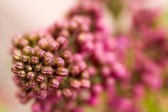 Fiori lilla nella scena di fioritura di primavera Fiori lilla di fioritura in primavera fotografie stock libere da diritti