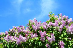 Fiori lilla porpora con lo spazio della copia Cespuglio di fioritura dei lillà porpora in primavera Immagine Stock