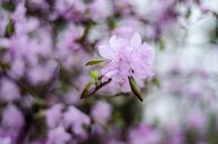 Fiori lilla porpora molli in primavera di un fondo verde fotografie stock