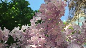 Fiori lilla porpora nel vento nel giardino stock footage