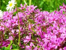 Fiori lilla in primavera fotografia stock libera da diritti