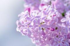 Fiori lilla rosa Fotografia Stock Libera da Diritti