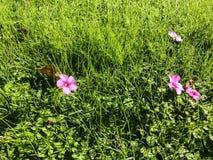 Fiori lilla su erba verde immagine stock libera da diritti