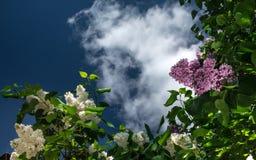 Fiori lilla su un fondo del cielo e delle nuvole immagine stock libera da diritti