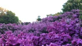 Fiori lilla viola su un ramo nel parco archivi video