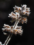 fiori Lipped del gelo Immagine Stock
