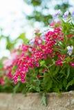 Fiori luminosi del giardino sull'aiola Fotografia Stock Libera da Diritti
