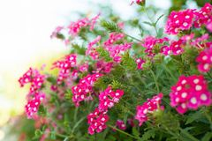 Fiori luminosi del giardino sull'aiola Immagini Stock Libere da Diritti