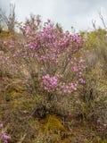 Fiori a mala pena sboccianti del maralnik dei rosmarini selvatici nel dialetto locale in Altai, Russia fotografia stock