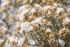 Fiori marroni minuscoli con neve Fotografia Stock Libera da Diritti