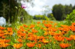 Fiori medici delle erbe del calendula di estate Fotografia Stock Libera da Diritti