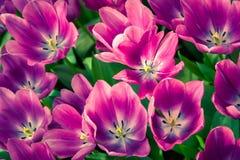 Fiori meravigliosi del tulipano nel parco di Keukenhof Fotografia Stock