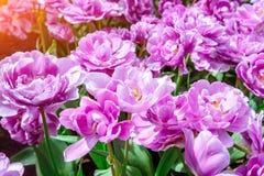 Fiori meravigliosi del tulipano nel parco di Keukenhof Fotografie Stock