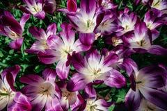 Fiori meravigliosi del tulipano nel parco di Keukenhof Immagine Stock