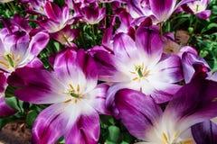 Fiori meravigliosi del tulipano nel parco di Keukenhof Immagini Stock