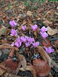 Fiori minuscoli di rosa della foresta Fotografia Stock Libera da Diritti