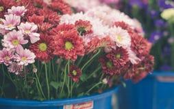 Fiori misti del crisantemo Immagini Stock Libere da Diritti