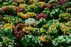 Fiori nei giardini del butchart Fotografia Stock Libera da Diritti