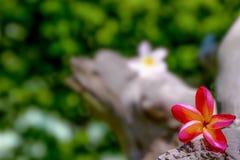 Fiori nei precedenti, fiore di Champa fotografia stock