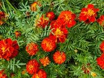Fiori nel giardino Fiori di tagetes in giardino fotografia stock