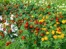 Fiori nel giardino Fiori di tagetes in giardino immagini stock libere da diritti