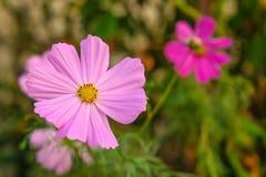 Fiori nel giardino domestico Fotografia Stock