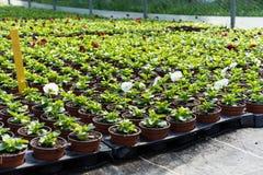 Fiori nel horticulutre di industria della serra per la vendita nei supermercati Immagine Stock Libera da Diritti