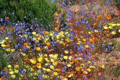 Fiori nel parco nazionale del namaqualand Fotografie Stock Libere da Diritti