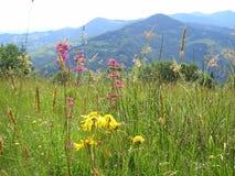 Fiori nell'ucranino Carpathians delle montagne Immagini Stock