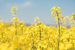 Fiori nella molla di stagione Campo giallo fotografie stock libere da diritti