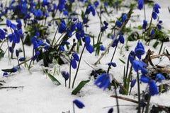 Fiori nella neve Fotografia Stock