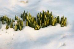 Fiori nella neve Fotografie Stock