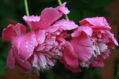 Fiori nella pioggia Fotografie Stock Libere da Diritti
