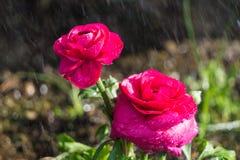 Fiori nella pioggia Fotografia Stock Libera da Diritti