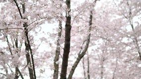Fiori nelle serie di primavera: fiori dei fiori della ciliegia sul ramo del ciliegio e sui petali di caduta dei fiori della cilie video d archivio