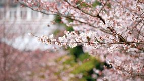 Fiori nelle serie di primavera: I fiori dei fiori della ciliegia in piccoli mazzi su un ramo del ciliegio in brezza, si chiudono  archivi video