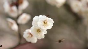 Fiori nelle serie di primavera: la prugna bianca che sboccia in brezza, si chiude sulla vista, 4K il film, movimento lento stock footage