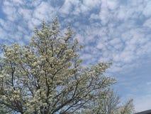 Fiori nuvolosi dell'albero Immagini Stock Libere da Diritti