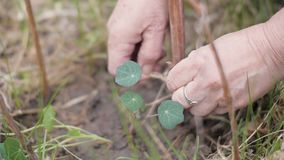 Fiori obbligatori del giardiniere femminile della mano da attaccare Fiori di coltivazione in giardino archivi video