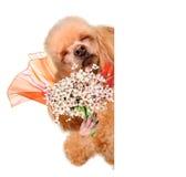 Fiori odoranti del cane. Fotografie Stock