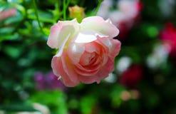Fiori per un giorno fresco e puro di amore Immagine Stock